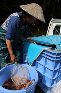保富さんは、昭和・大正・五色を生産しています。